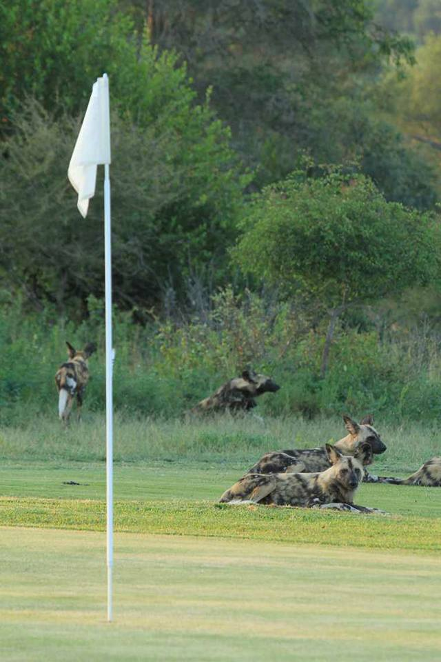 Wild dog at Skukuza golf course