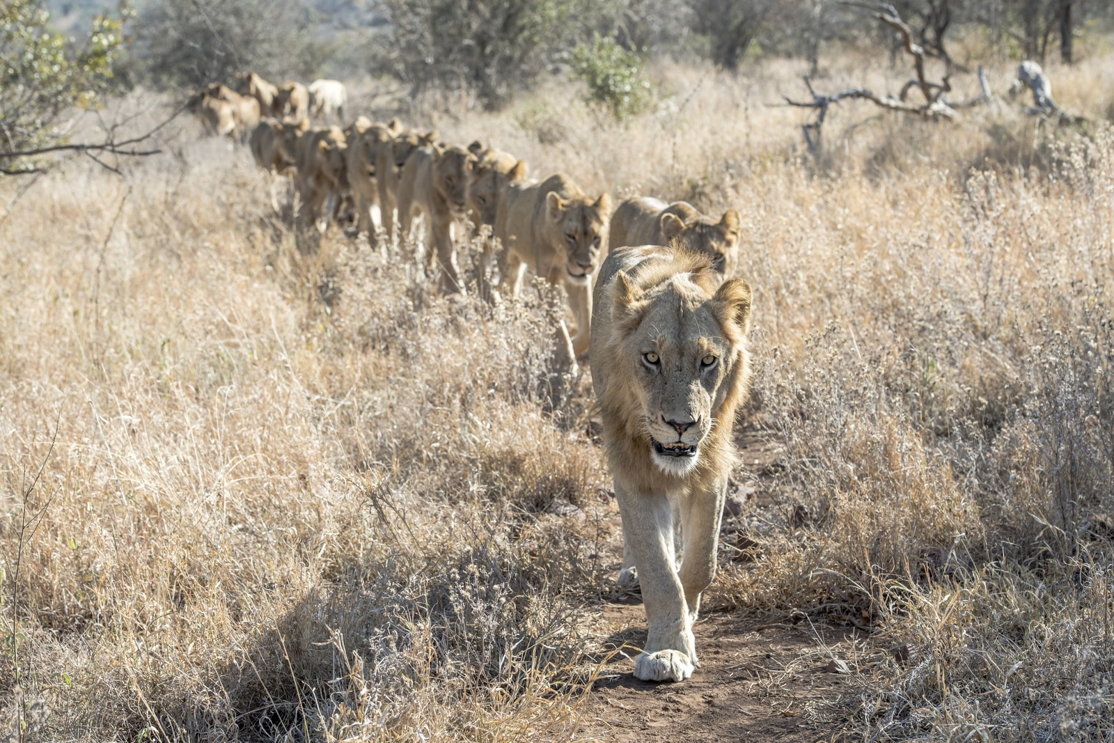 Mountain pride of lions at Singita Lebombo