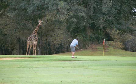 Giraffe at Skukuza golf course