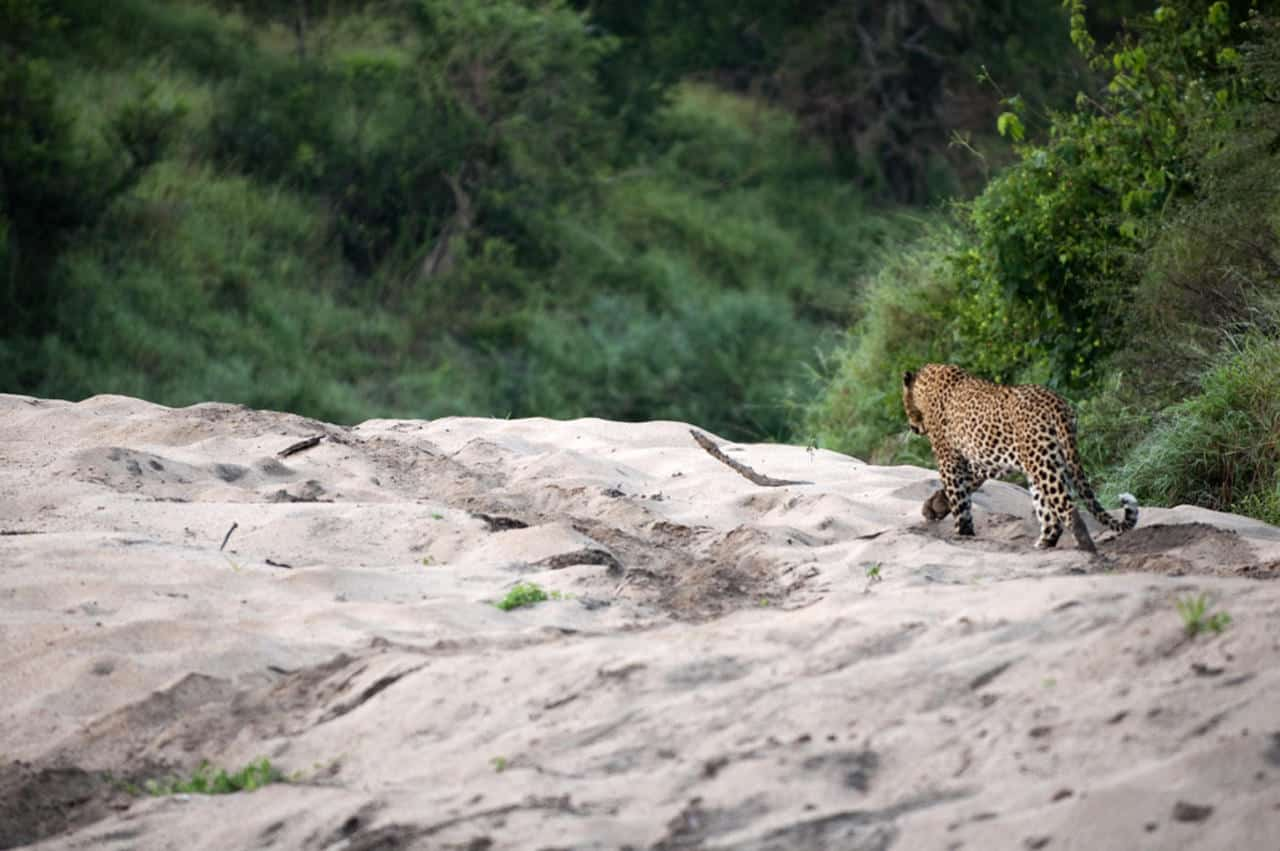 Leopard on rocks at Lion Sands