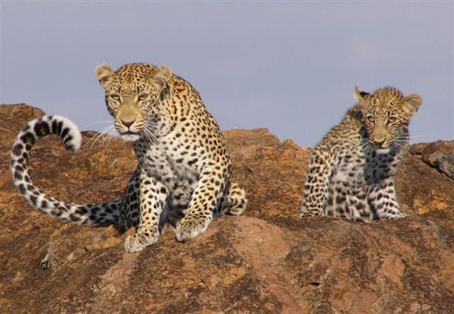 Leopards near Singita Lebombo